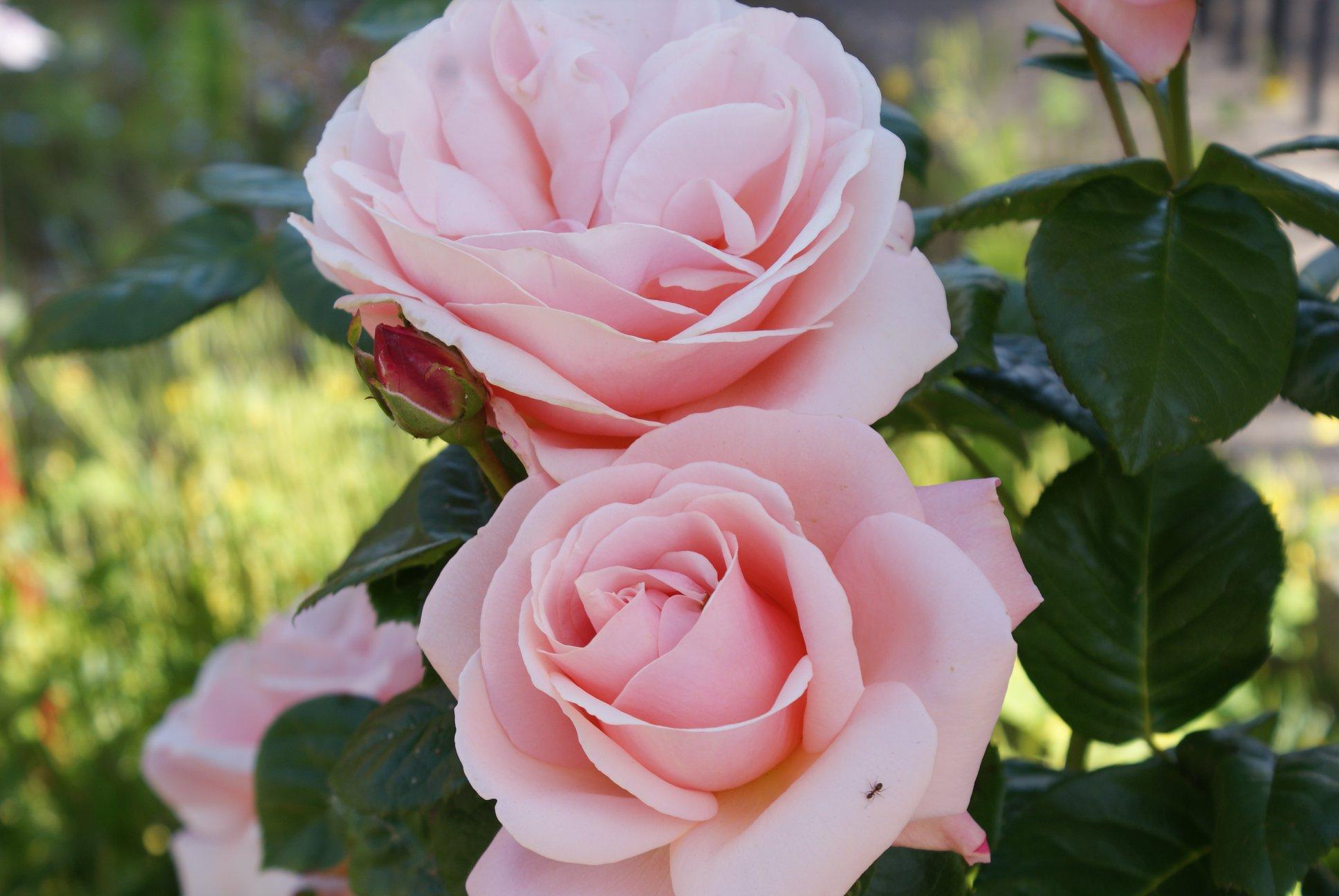 Goddess Hall Roses by Trevor Nuthall